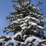 Ёлка в снегу на фоне голубого неба. Взгляд снизу вверх.