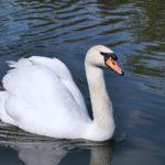 Лебедь-шипун (Cygnus olor), плавающий на пруду