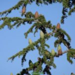 Ветка кедра гималайского (Cedrus deodara) с шишками в конце июня