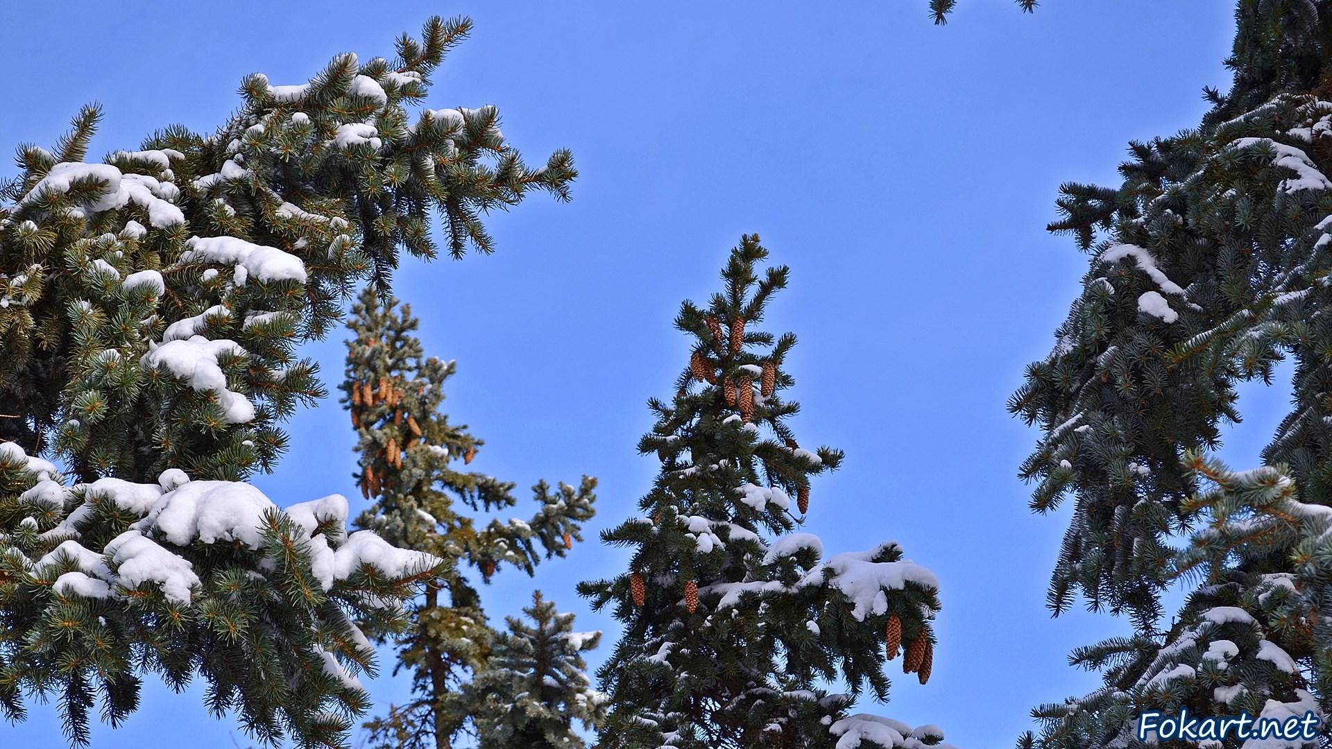 Верхушки елей с шишками на фоне синевы неба. Зима