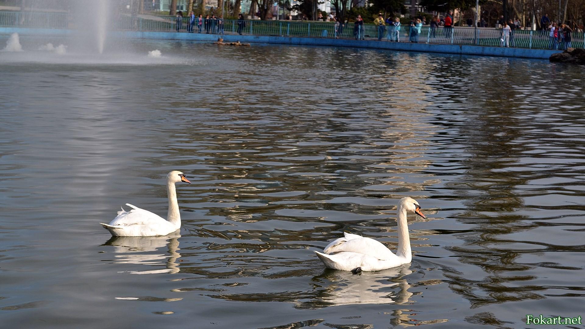 Два белых лебедя на пруду в парке