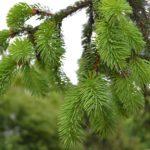 Молодая светло-зелёная поросль ели с капельками дождя