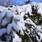 Ветка ели, покрытая снегом, в солнечную зимнюю погоду