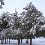 Зимние сосны, покрытые обледеневшим снегом, в зимнем парке