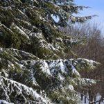 Заснеженные ветки пихты - Заснеженные ветки пихты над ещё не замёрзшим прудом