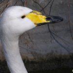 Лебедь-кликун крупным планом