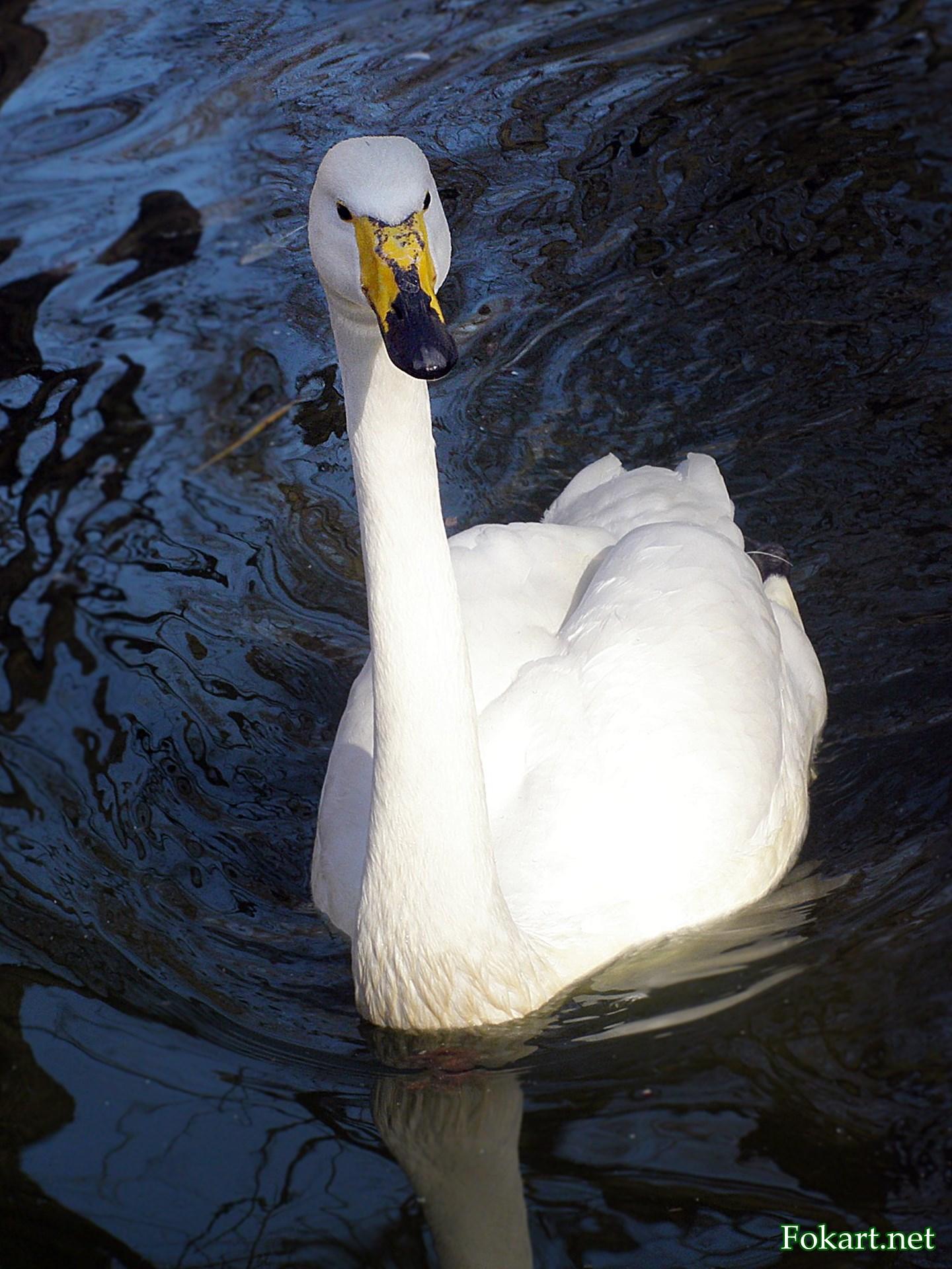 Плывущий лебедь-кликун