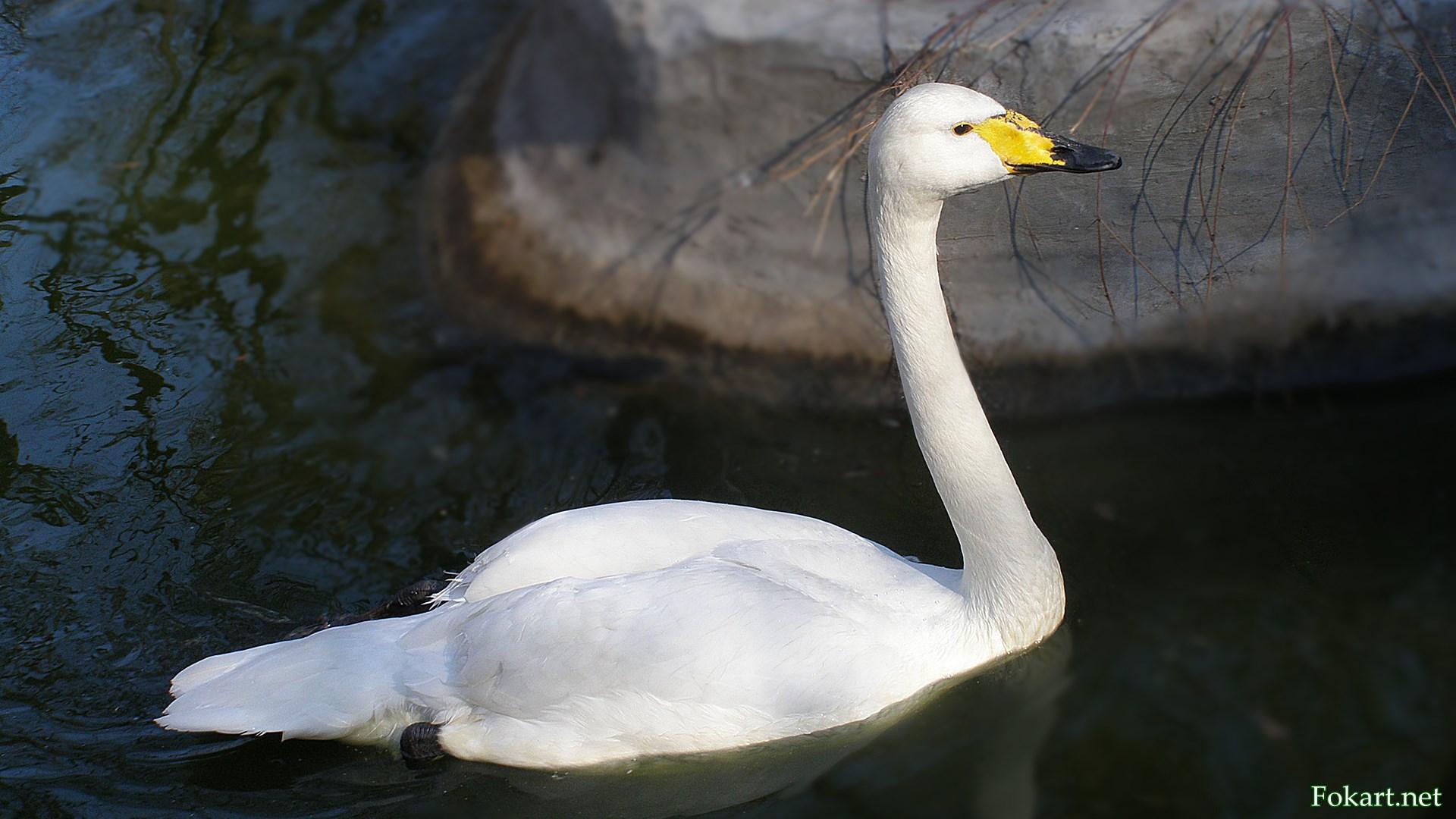 Лебедь-кликун (Cygnus cegnus) отличается от других жёлто-чёрным клювом