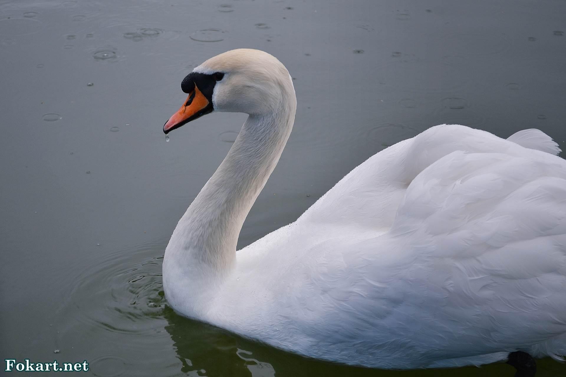 Белый лебедь-шипун под дождём на пруду