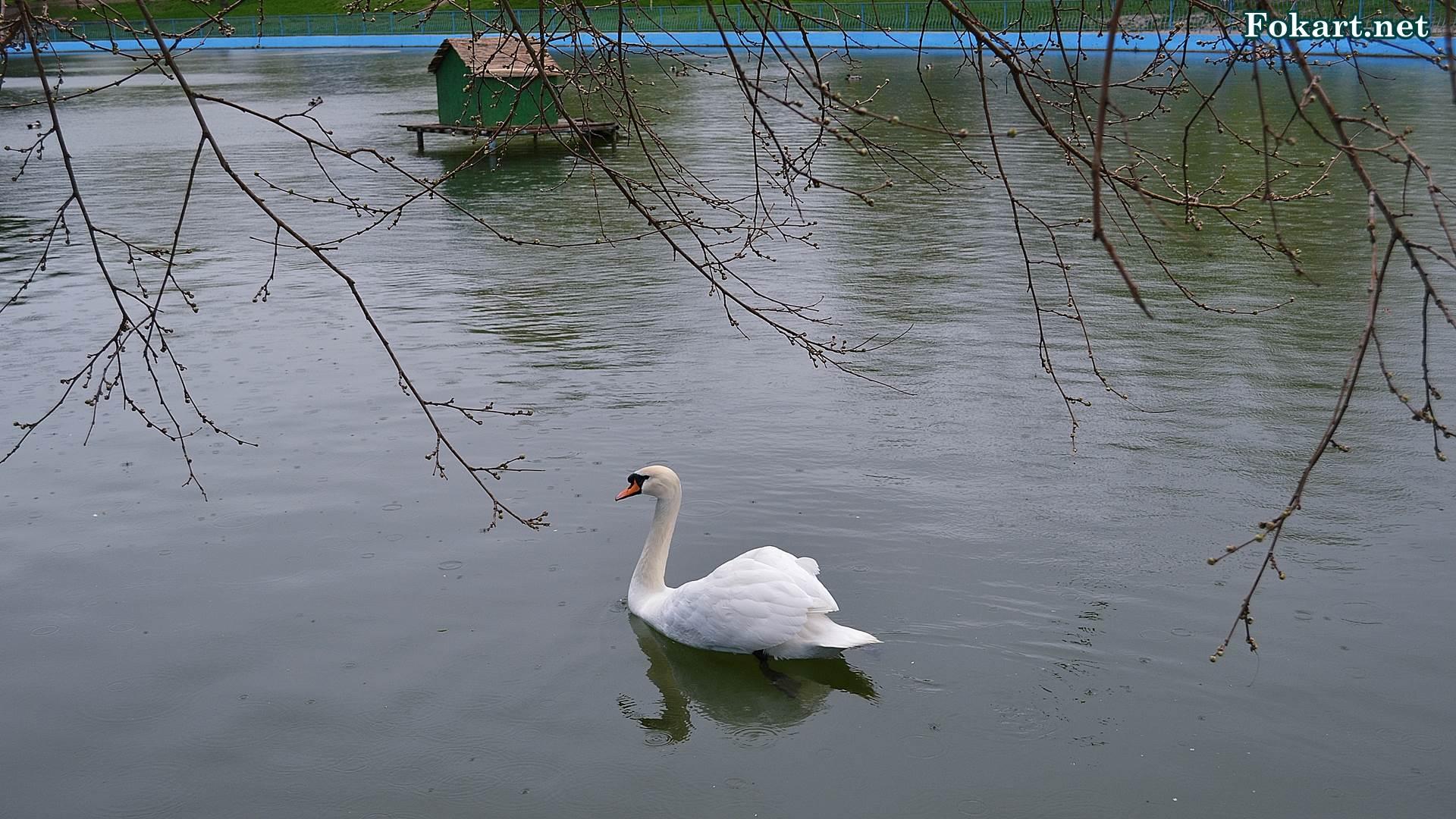 Апрельский дождь и белый лебедь на пруду