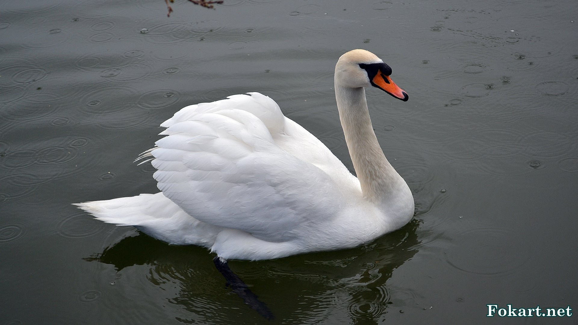 Белый лебедь под апрельским дождём в парке на пруду.