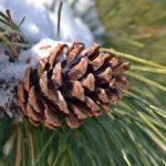 Сосновая шишка на ветке зимой. Крупный план