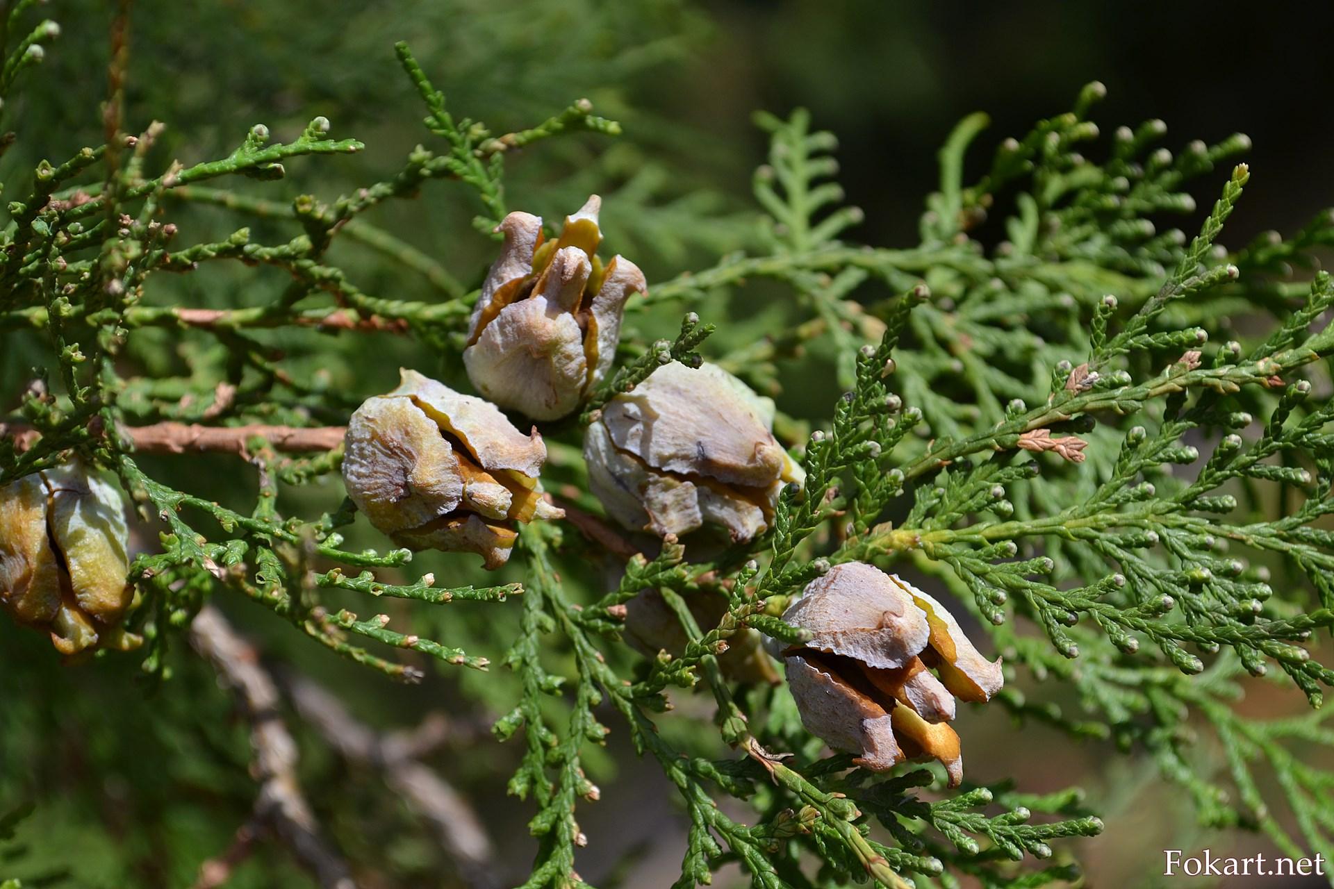Веточка с осенними шишками. Туя восточная, Биота, Платикладус (Platycladus), Плосковеточник.