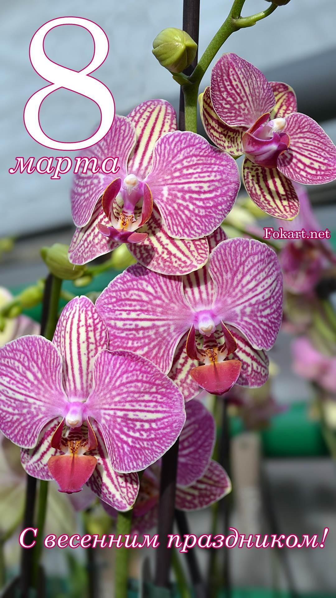 С весенним праздником 8 марта! Открытка. Вертикальные фото-обои 1920-1080. Полосатые розово-белые цветы фаленопсиса (орхидеи).