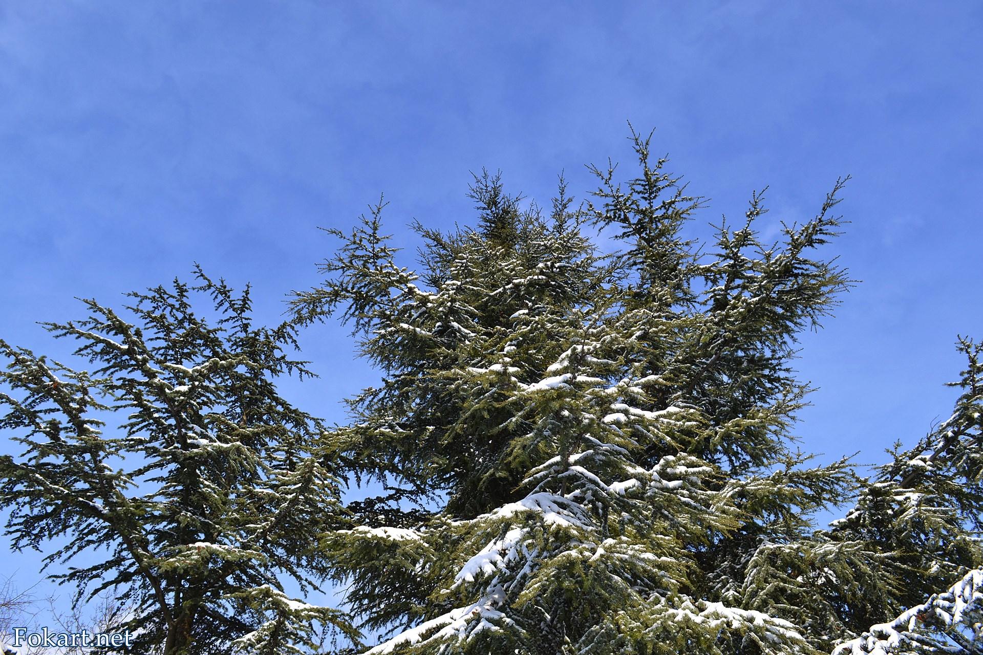 Верхушка заснеженной пихты на фоне морозного неба