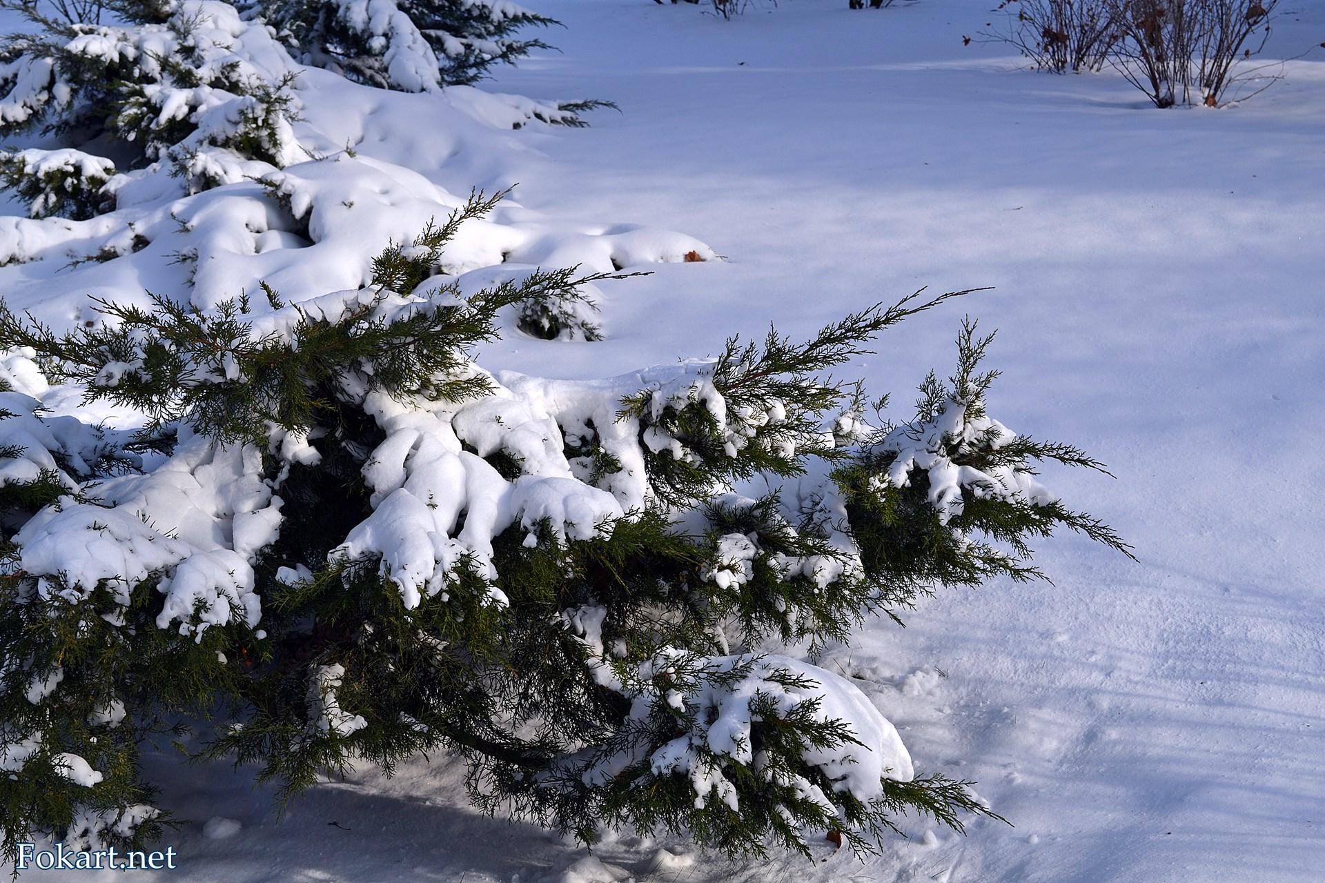 Заснеженные ветки можжевельника над снежными сугробами