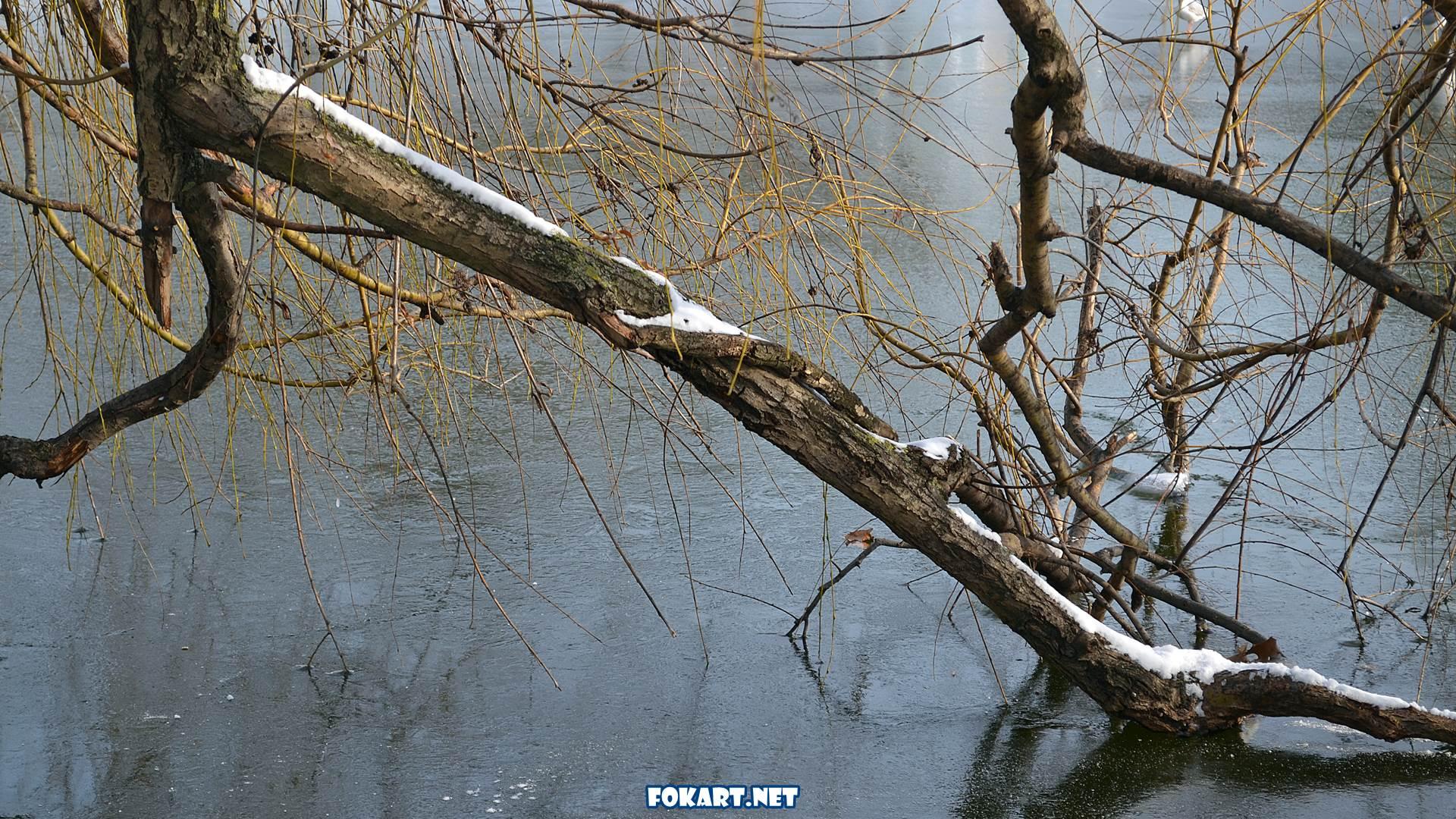 Склонившиеся ветки старой ивы на замёрзшем пруду в конце декабря.