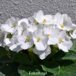 Белая узамбарская фиалка, или сенполия