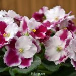 Сенполия, или узамбарская фиалка, с волнистыми цветками, бордовыми с белым