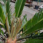Верхушка Саговника поникающего (Cycas revoluta)