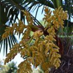 Трахикарпус Форчуна, соцветие и листья