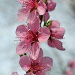 Цветки персика