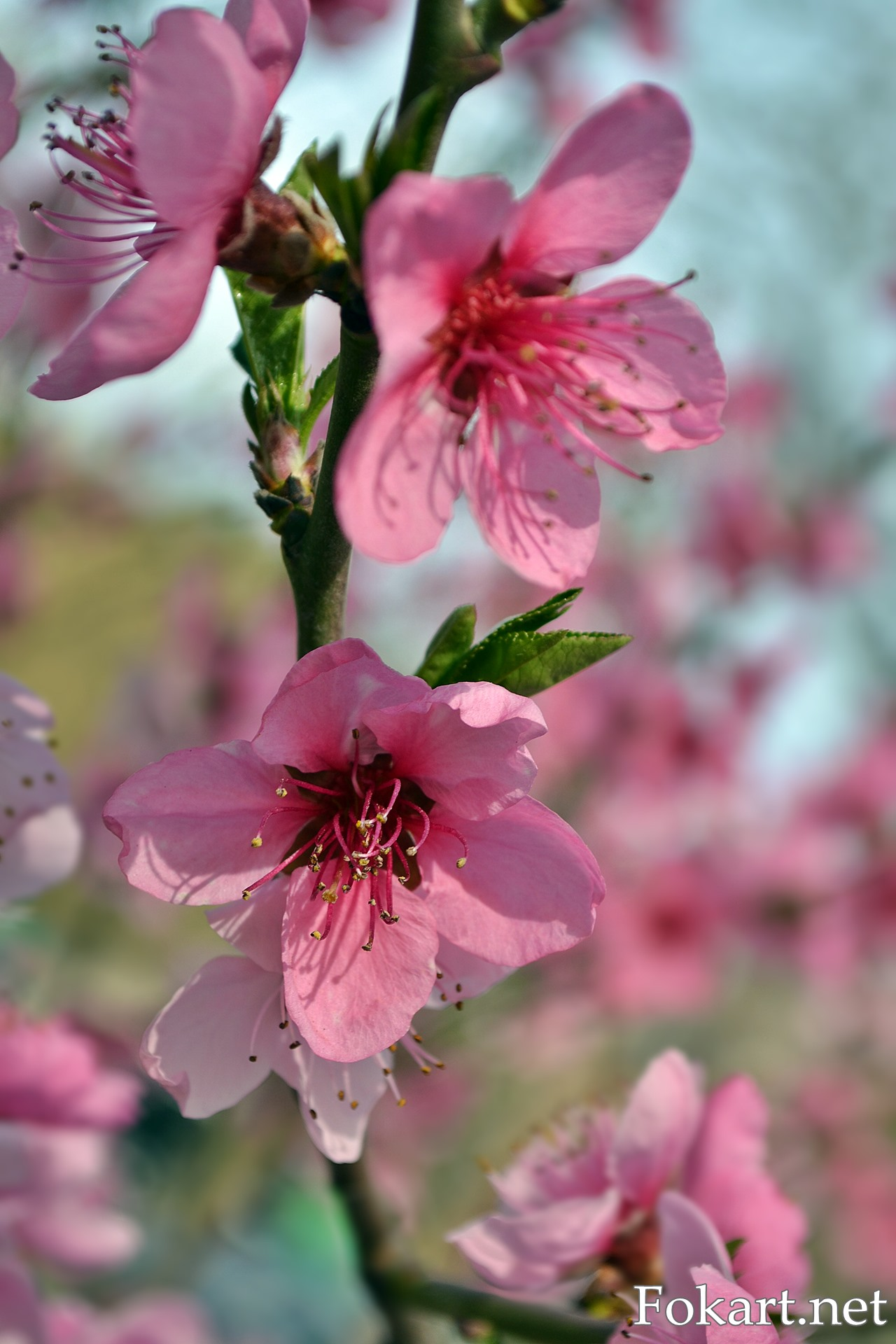 Розовые цветочки персика крупным планом