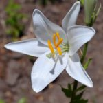 Белый цветок лилии под ярким солнцем