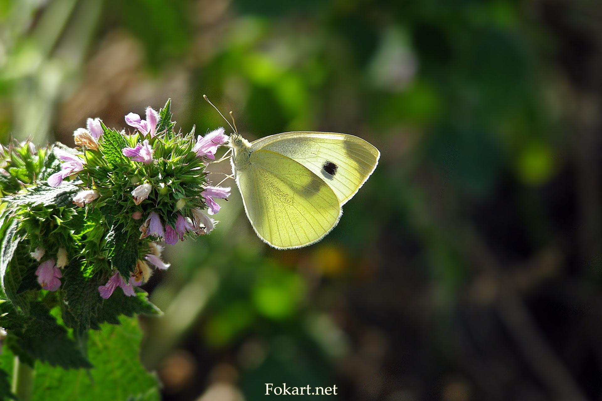 Капустница на цветке со сложенными крылышками
