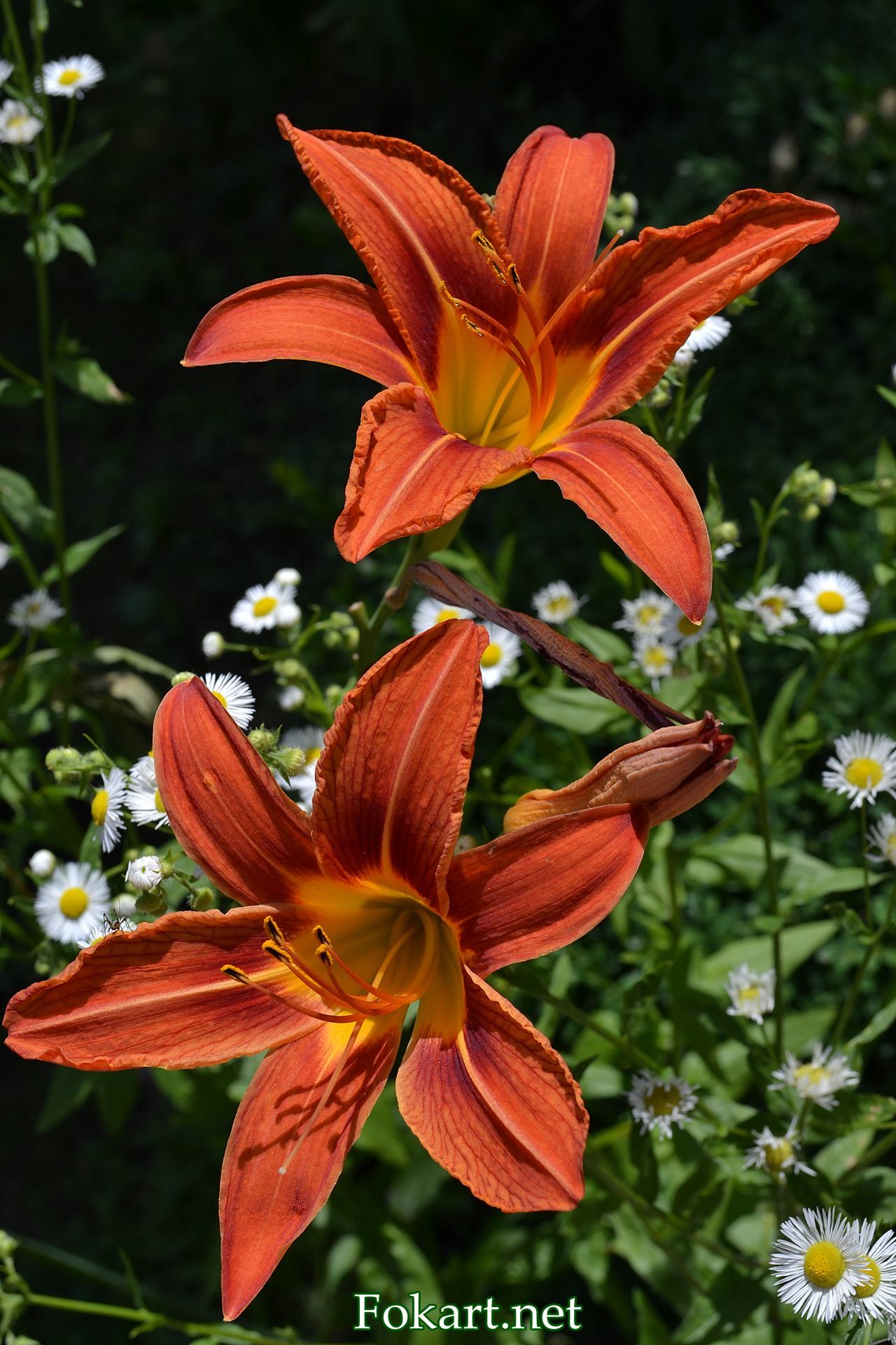 Оранжевые лилии, красоднев, лилейник