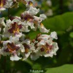Соцветие катальпы бигнониевидной (Catalpa bignonioides)