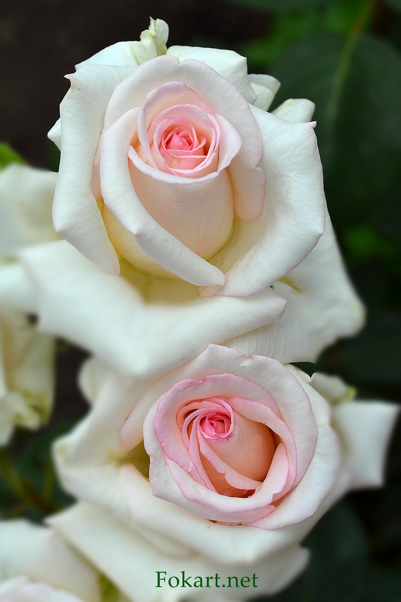 Две светлых розы, белых, с розовыми серединками