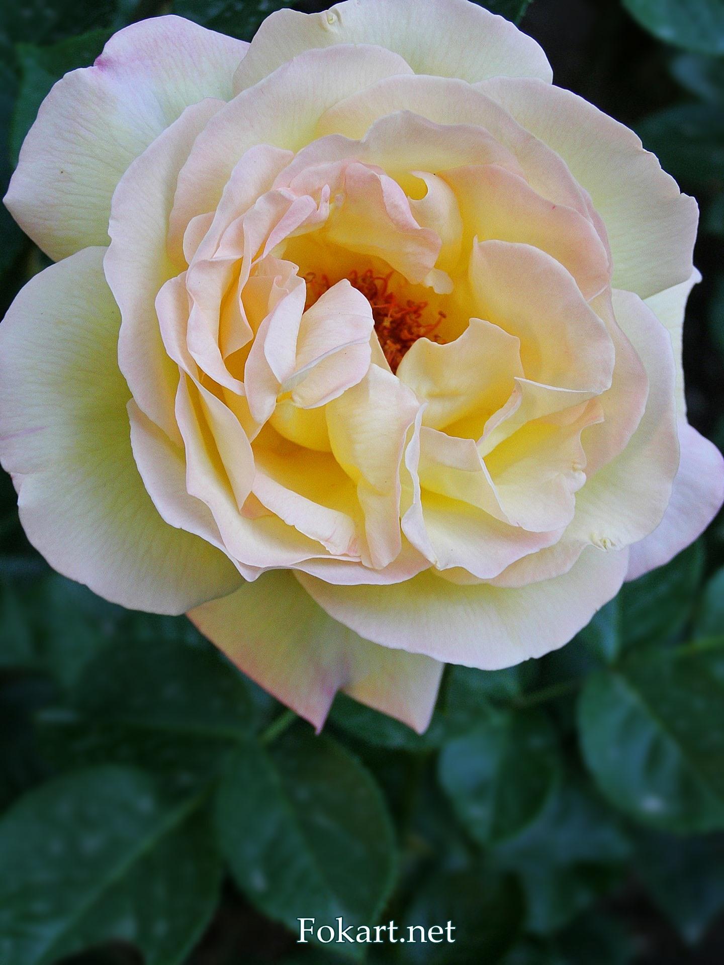 Крупная чайная роза