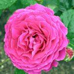 Малиновая роза в каплях