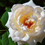 Раскрытая светлая роза