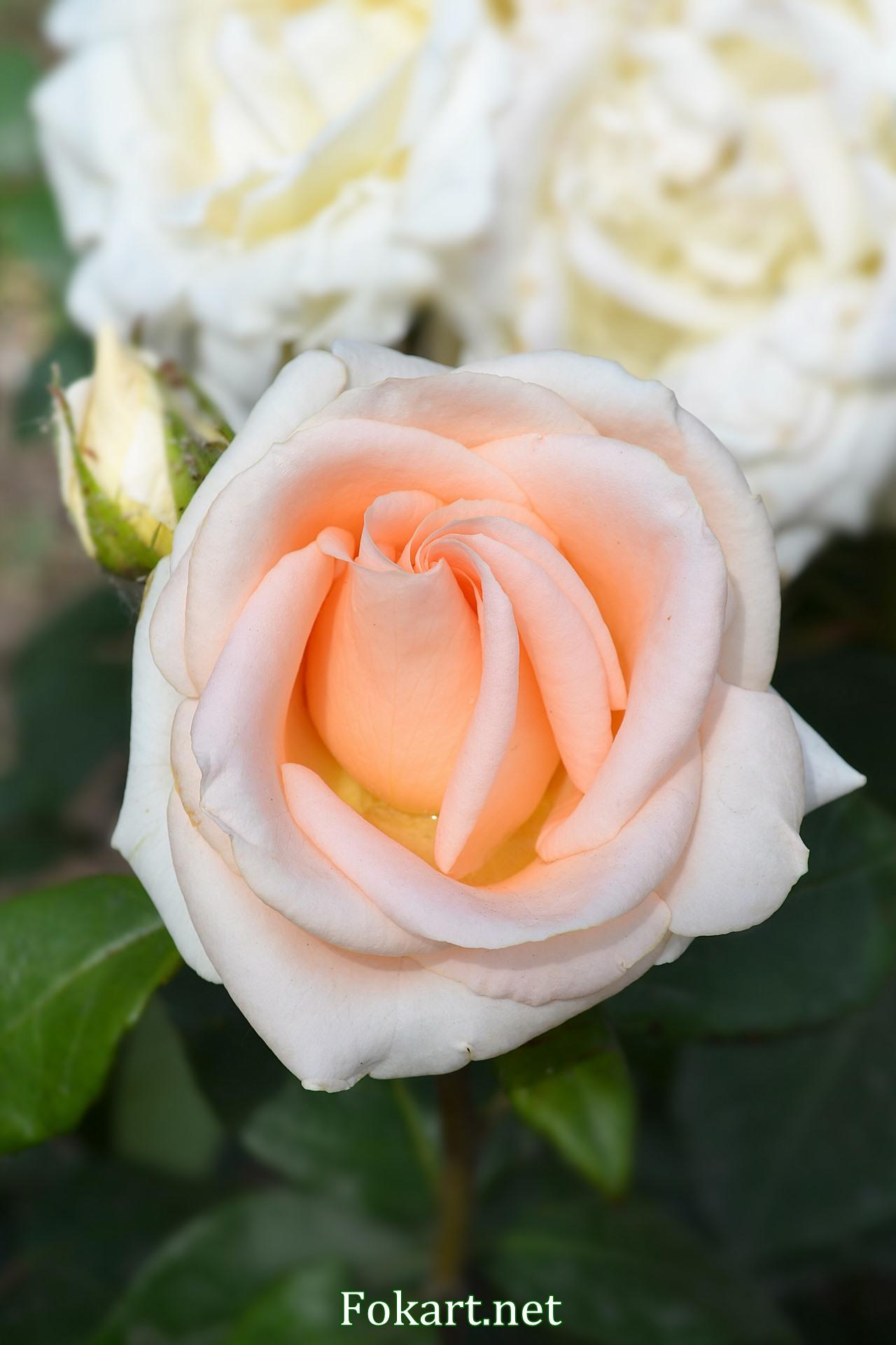 Светло-лососевая роза в саду