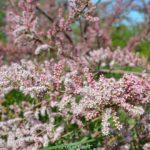 Цветение тамарикса изящного
