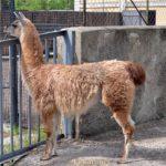 Молодая лама в вольере зоопарка