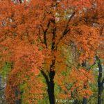 Осеннее дерево с оранжевыми листьями