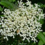 Соцветие бузины вблизи