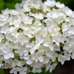 Белое соцветие гортензии вблизи