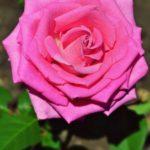 Красивая розовая роза