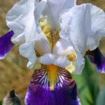 Бело-фиолетово-жёлтый цветок ириса