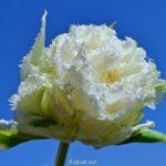 Белый, махровый, бахромчатый тюльпан