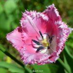 Розовый бахромчатый тюльпан