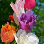 Скоро весна, открытка с тюльпанами