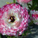 Бело-розовые лютики, ранункулюсы