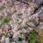 Цветущие веточки тамарикса, гребенщик четырёхтычинковый