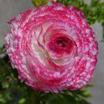 Лютик бело-розовый, садовый