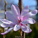 Розовый цветок магнолии крупным планом
